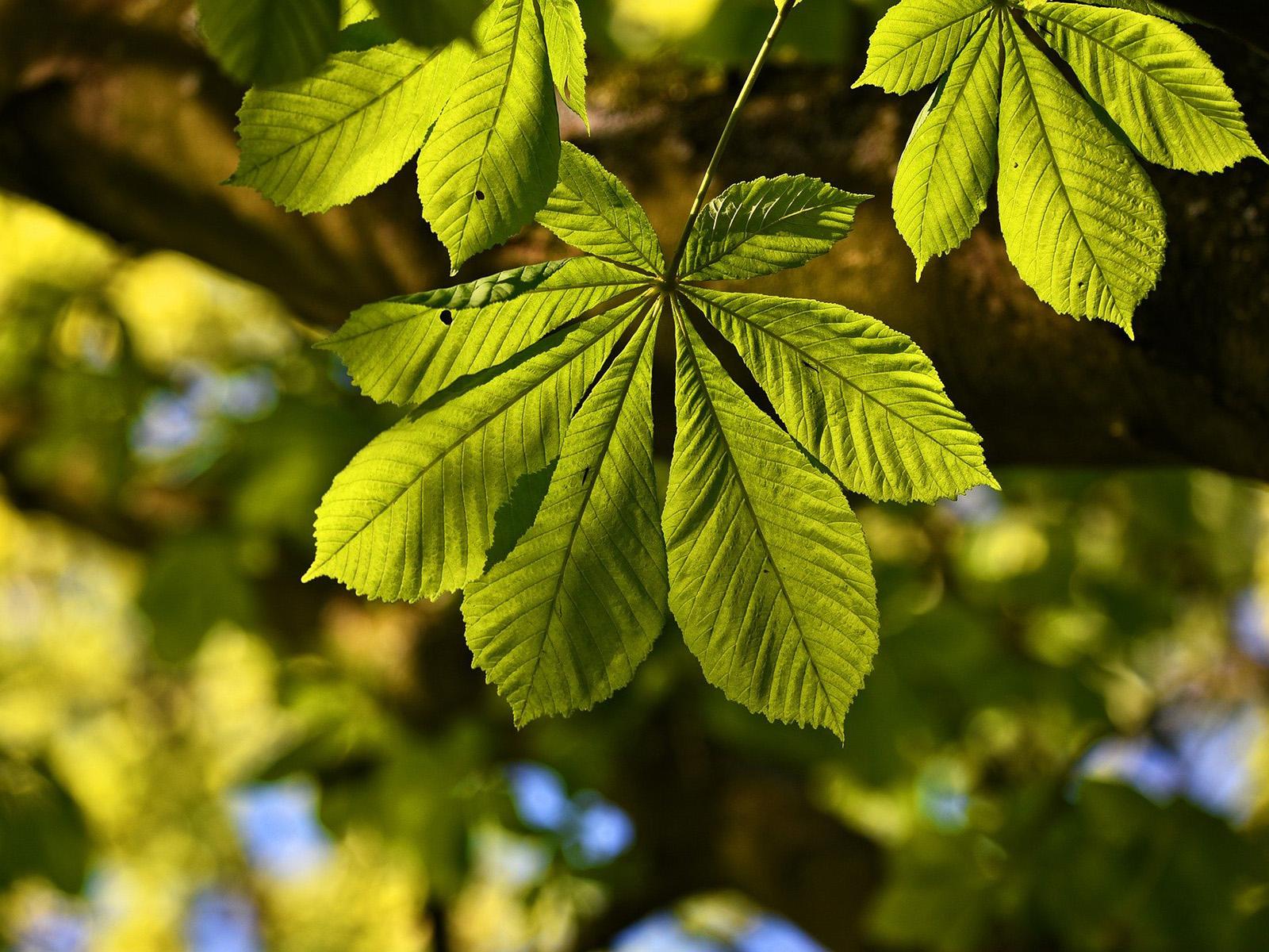 Im Vordergrund das Blatt einer Kastanie, im Hintergrund weitere Blätter und Äste
