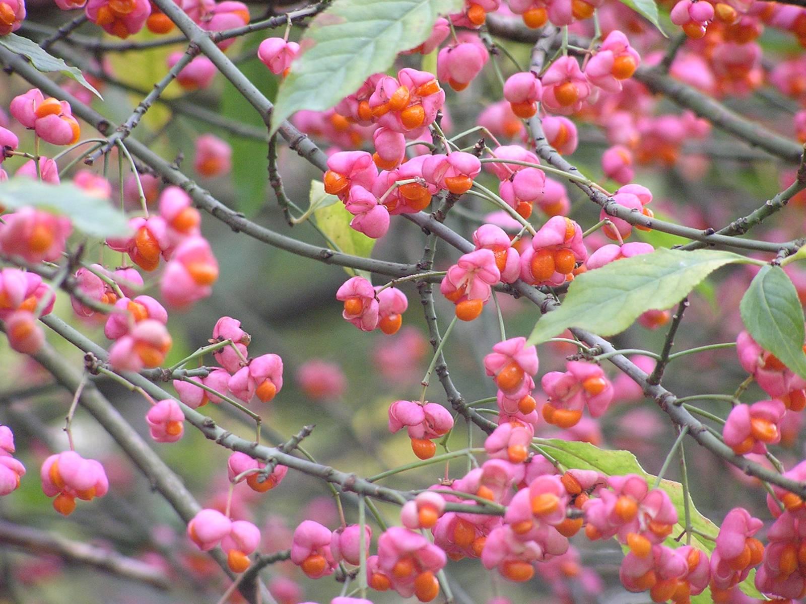 Eine Pflanze mit pinkfarbenen Blüten.