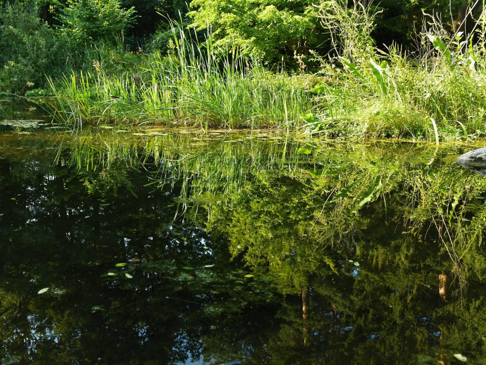 Teich mit Pflanzen, die sich im Wasser spiegeln