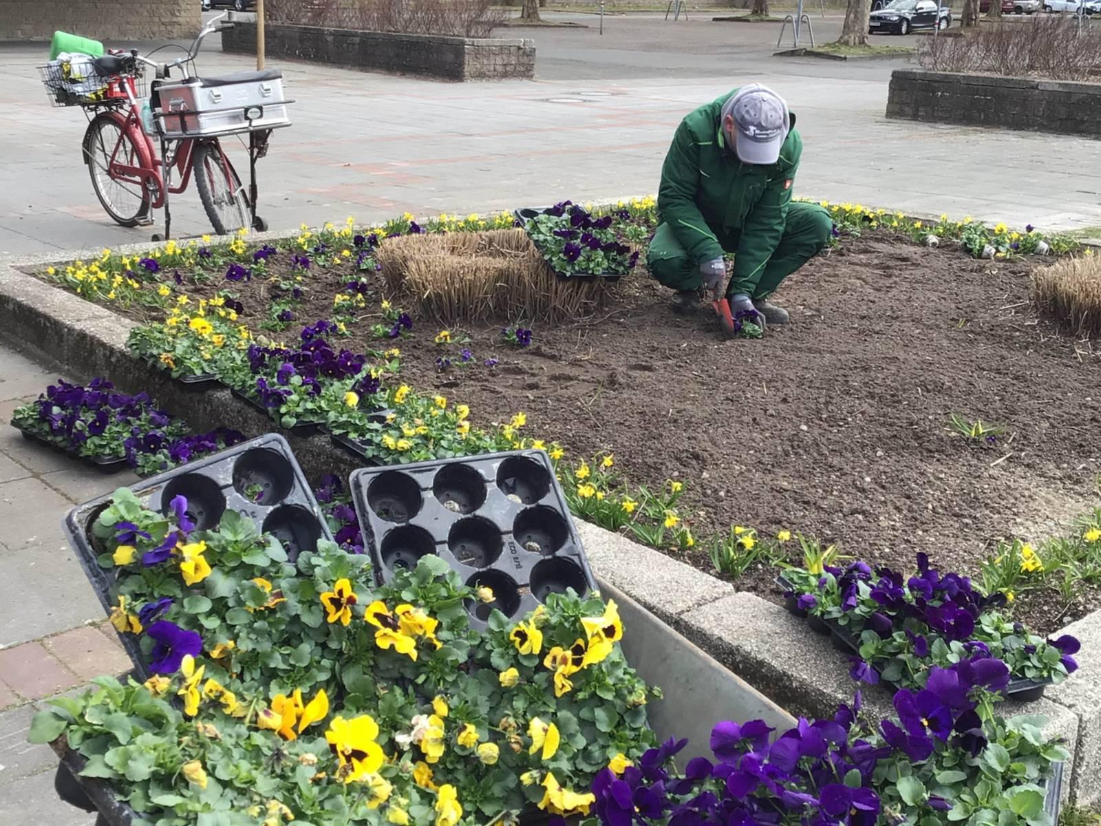 Ein Mann, der ein Beet mit bunten Stiefmütterchen bepflanzt.