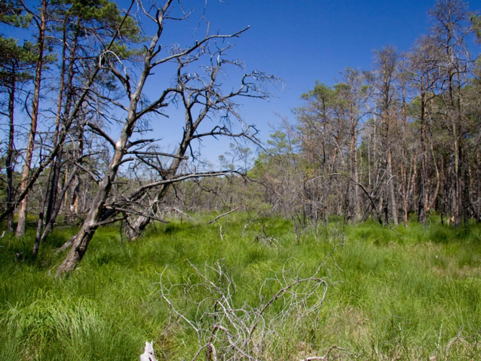 Tote und lebende Bäume, dazwischen sehr hohes grünes Gras. Dunkelblauer Himmel