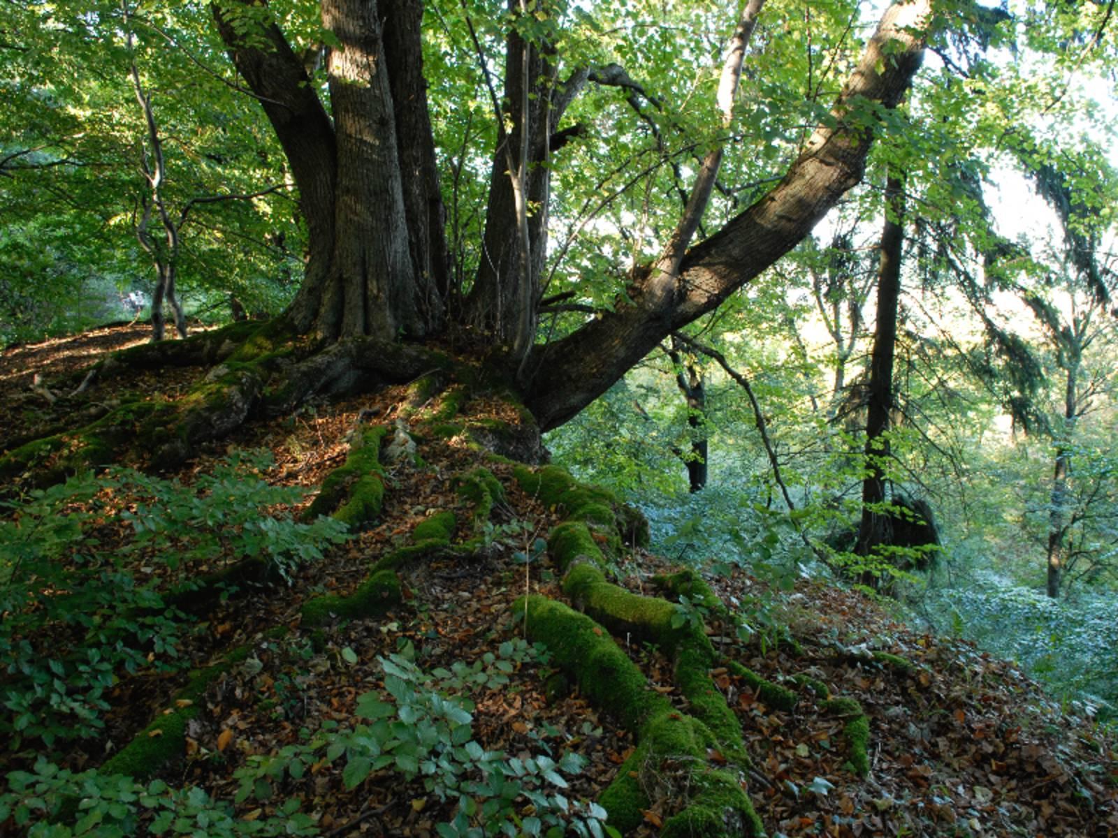 Der Baum hat mehrere Stämme ausgebildet und wächst auf einem kleinen Hügel. Auf dem Waldboden liegt altes Laub.