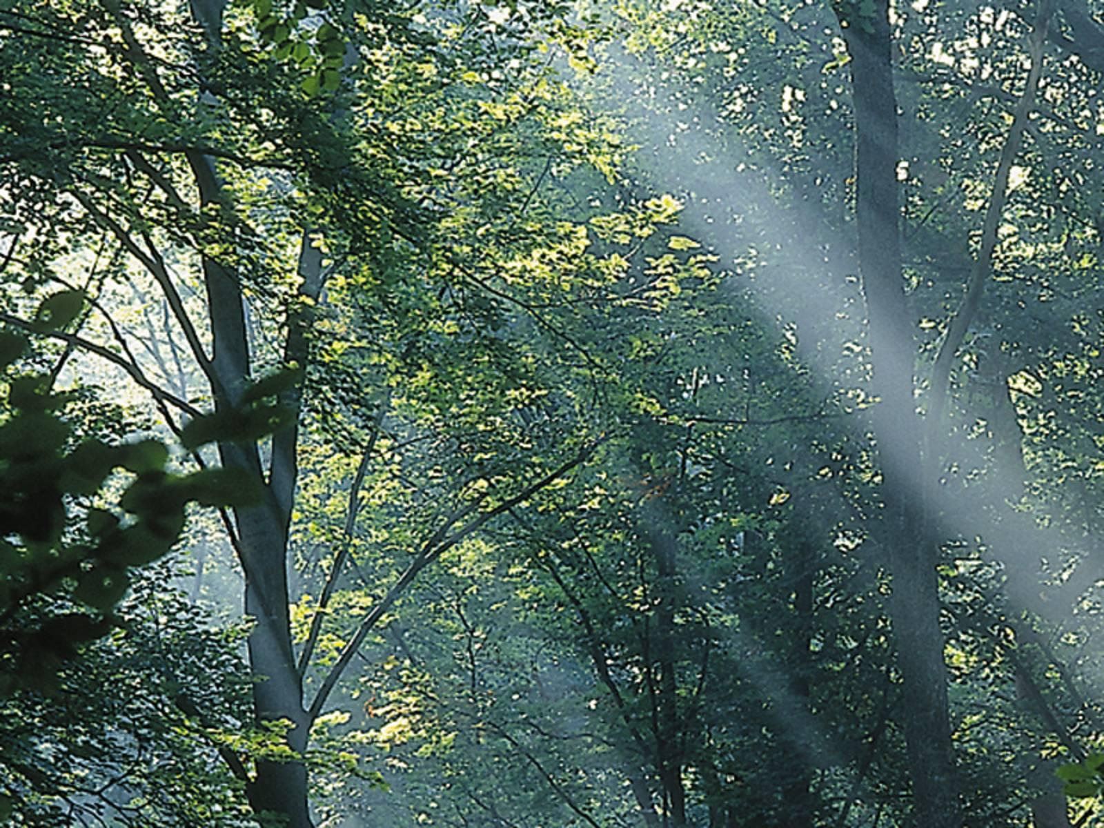 Sonnenlicht, dass durch die Blätter in einem Laubwald fällt