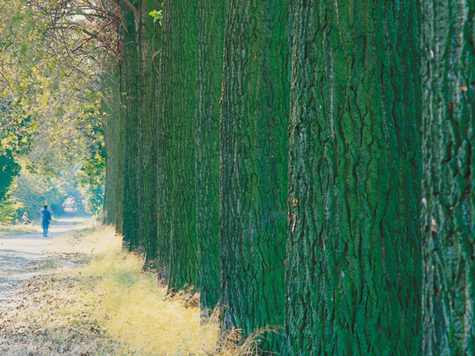 Die Stämme einer Reihe von großen Bäumen, links davon ein Weg mit Spaziergängern
