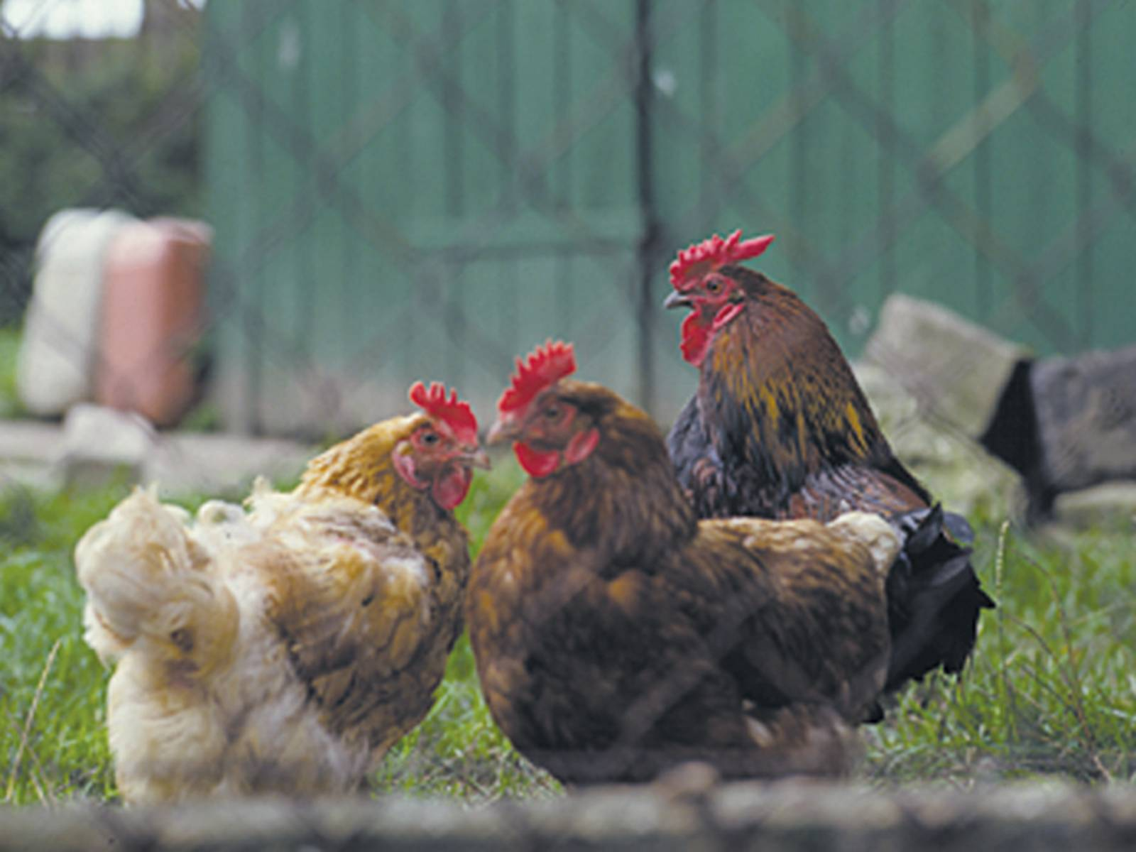 Hühner auf einer eingezäunten Wiese, im Hintergrund eine größere Holztür