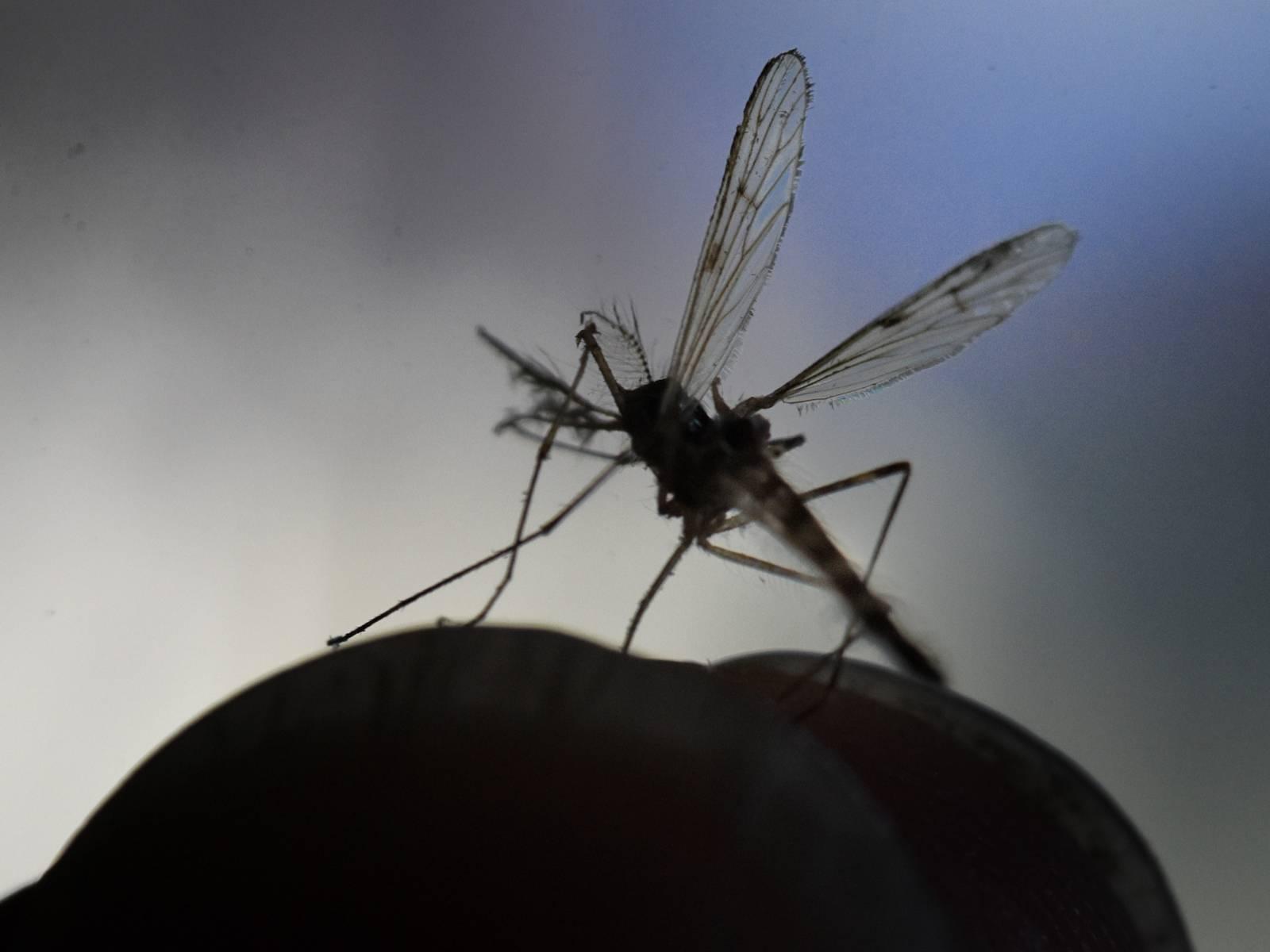 Mücke im Gegenlicht
