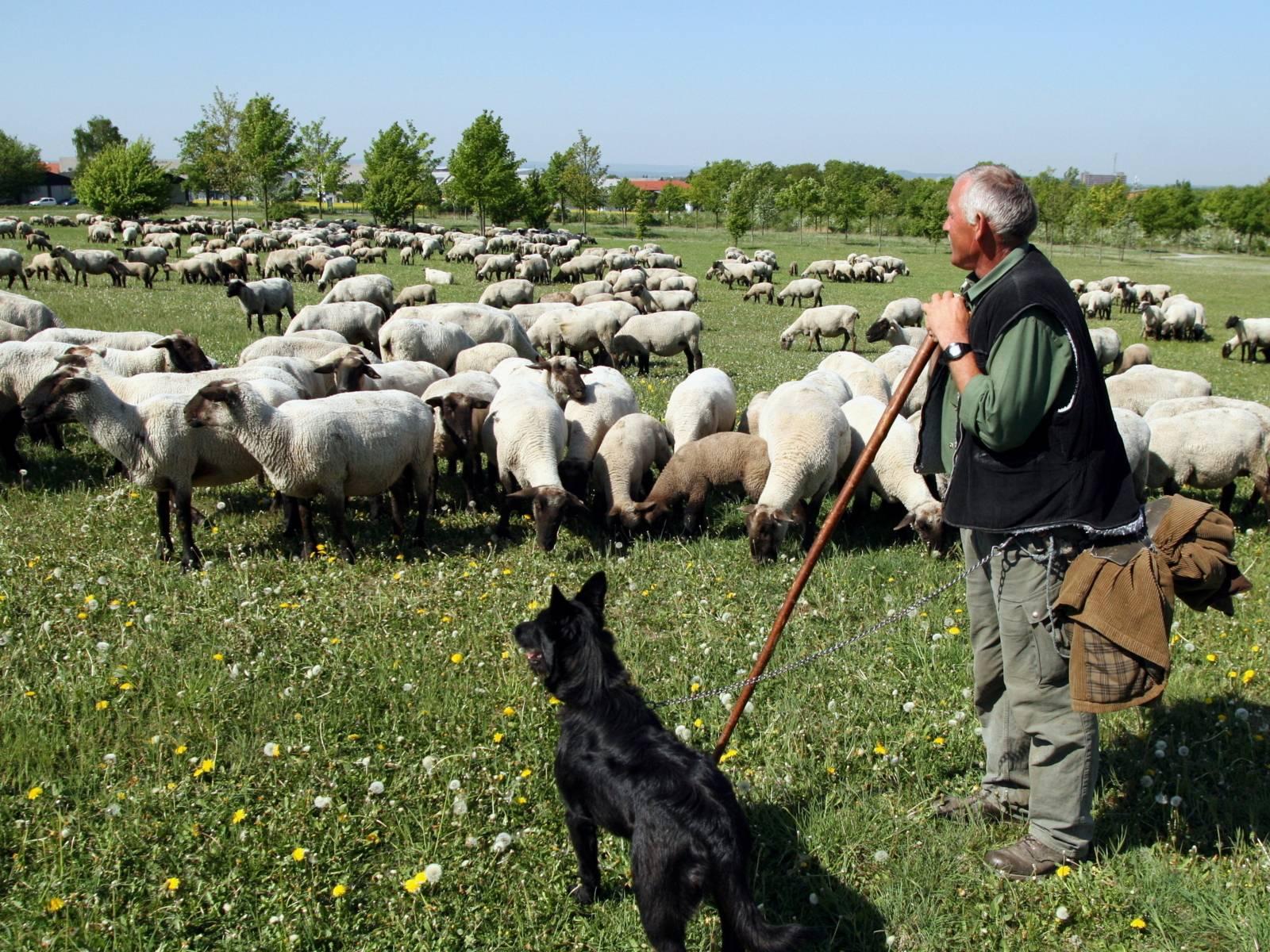 Ein Schäfer stützt sich auf seinen Hirtenstab und schaut auf seine Herden. Neben ihm steht ein schwarzer Hund.