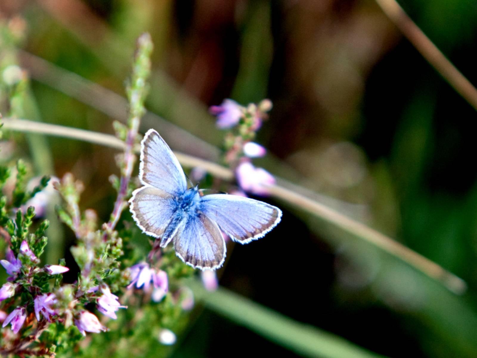 Ein blauer Schmetterling im Flug mit vollkommen ausgeklappten Flügeln. Unter ihm sind Blüten und verschwommene Grashalme zu erkennen.