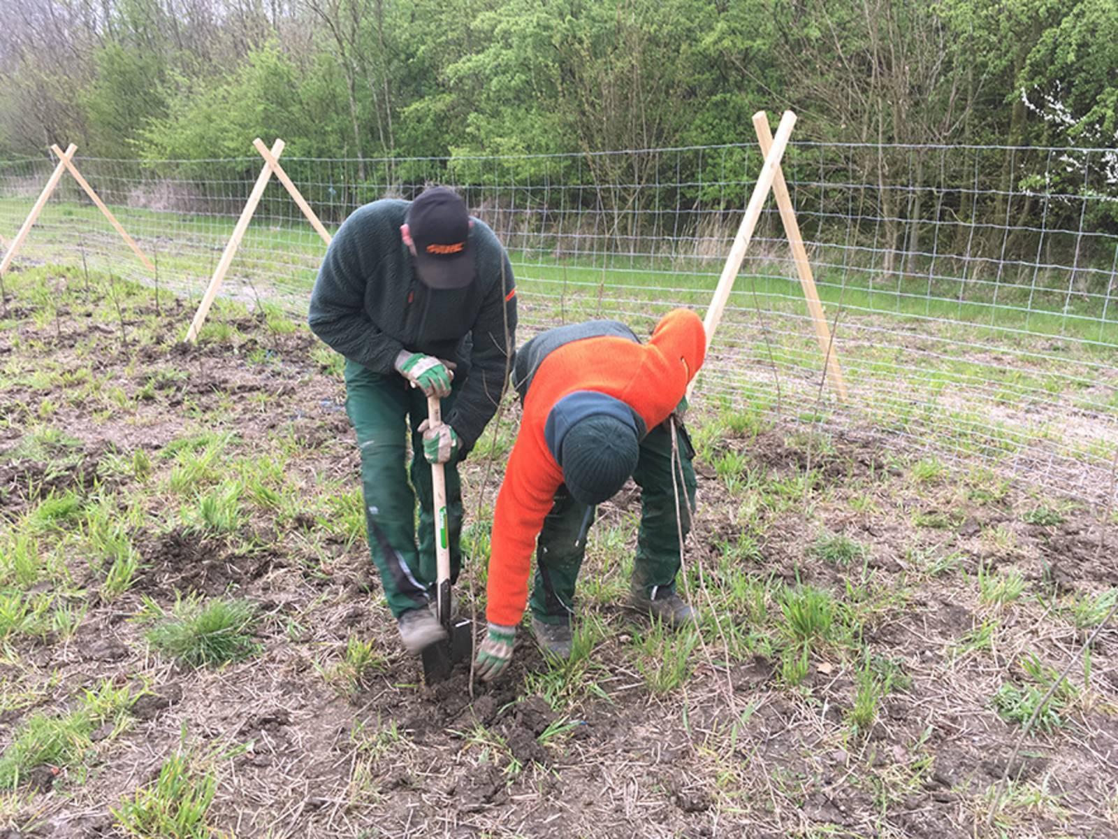Zwei Arbeiter pflanzen Baumsetzlinge
