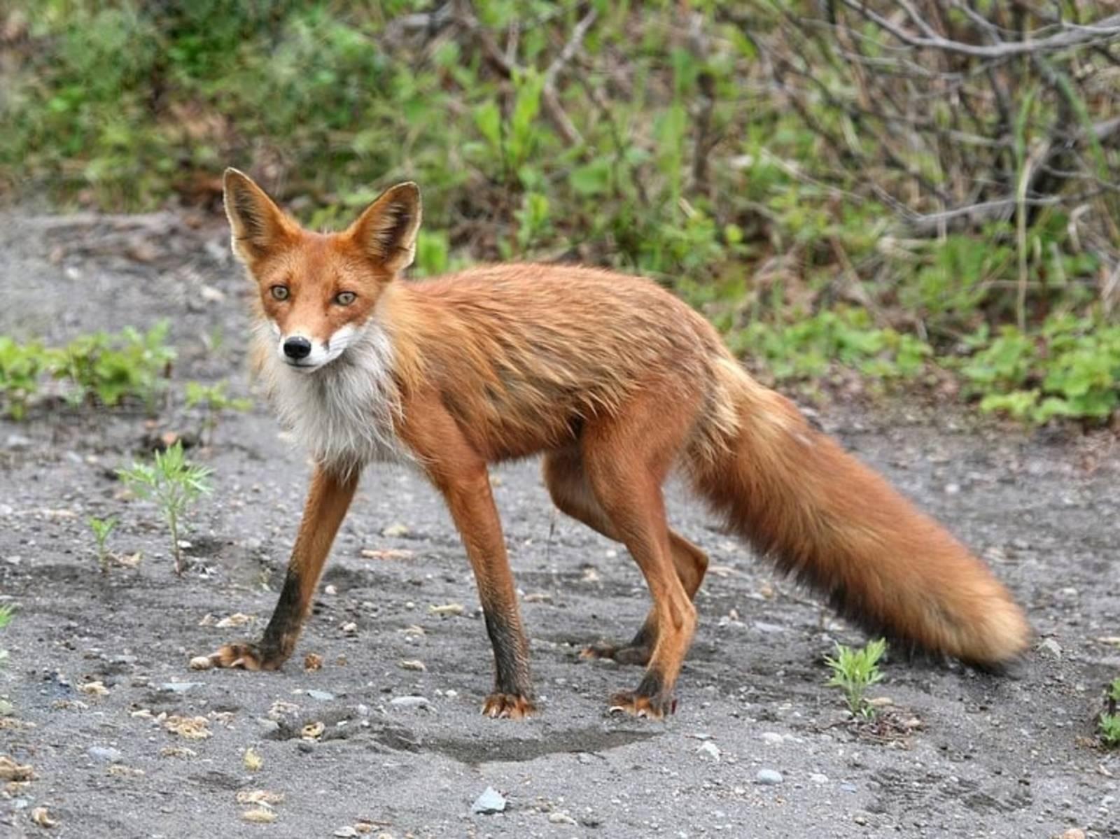 Fuchs auf einer Straße.