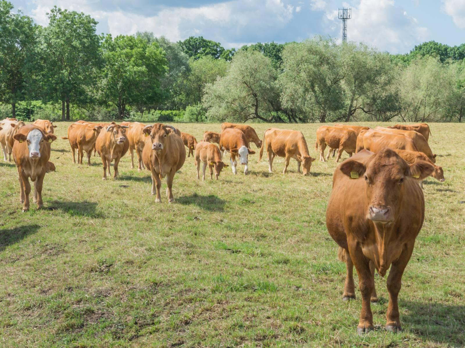 Mehrere Rinder in Nahaufnahme
