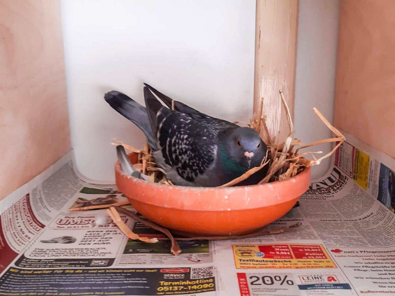 Taube in einem kleinen Nest.