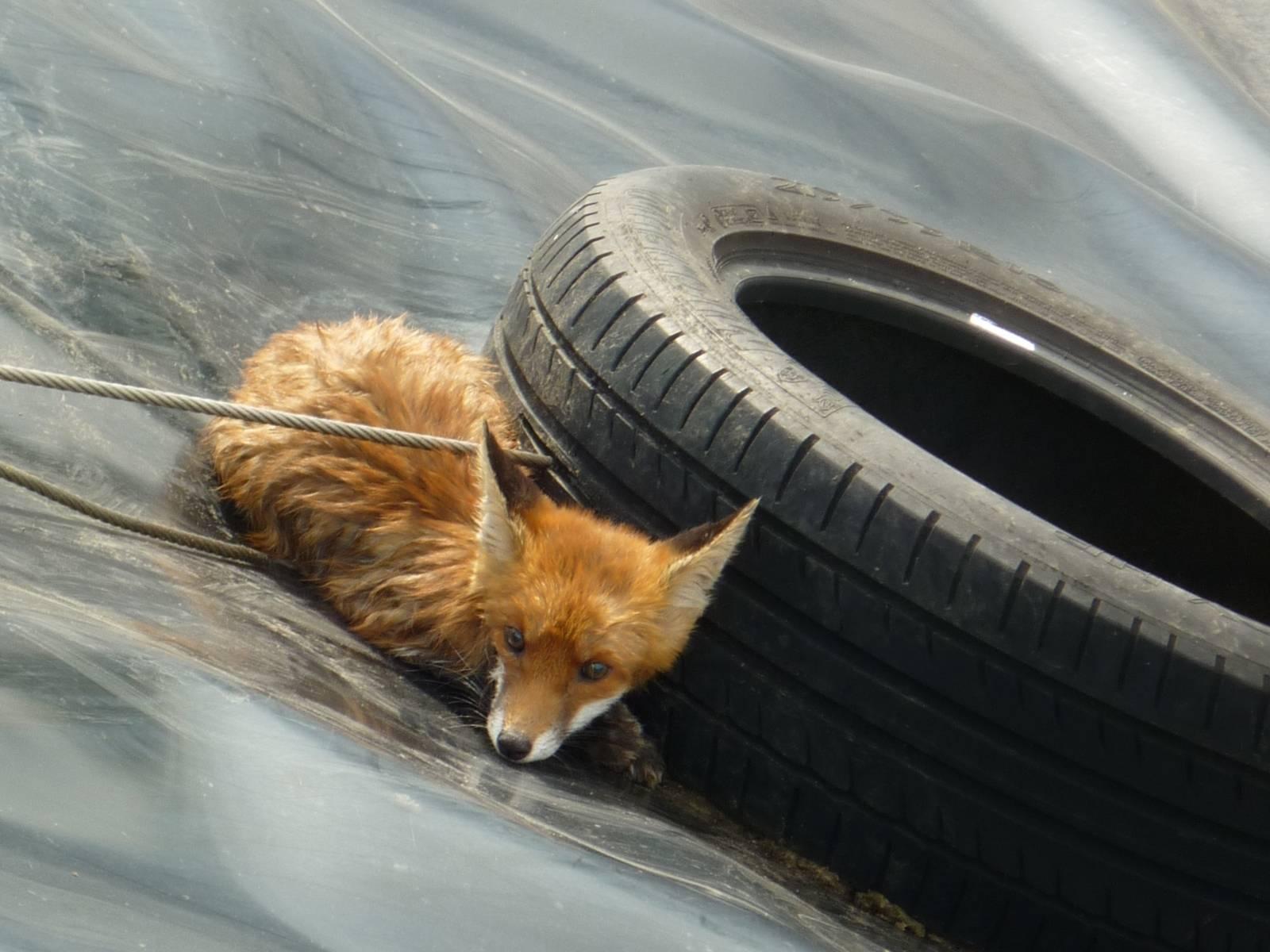 Fuchs im Regenrückhaltebecken