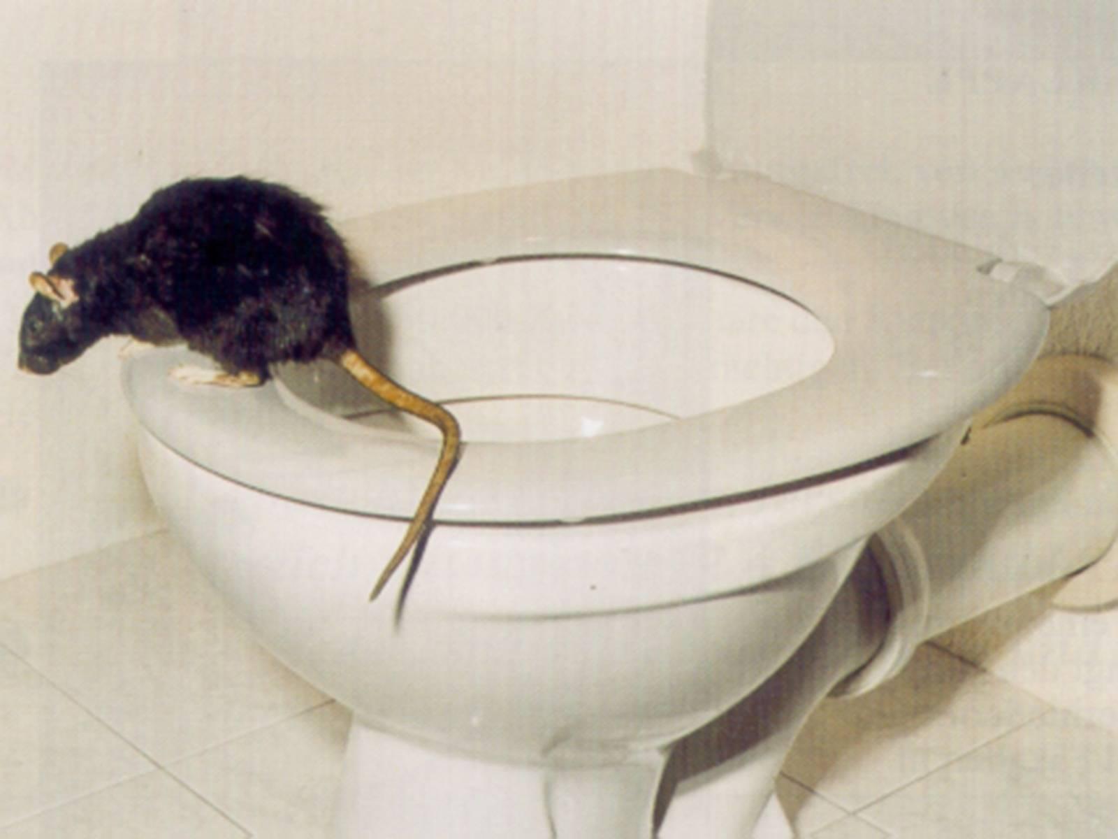 Ratte aus dem Untergrund