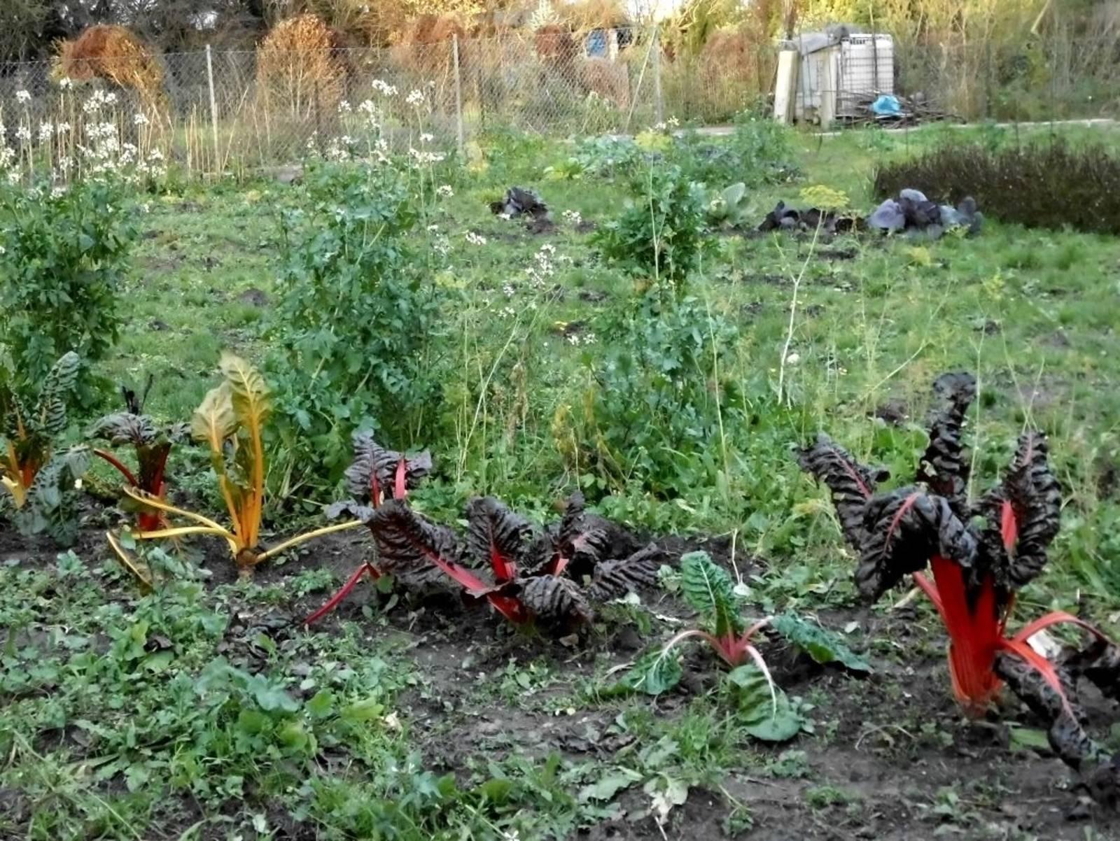 Kleingarten in Hainholz mit Mangold