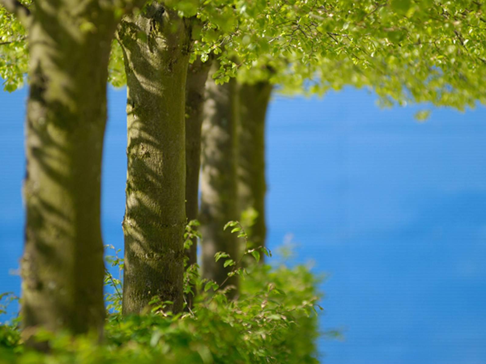 Baumstämme mit frischem Blattwerk vor blauem Himmel