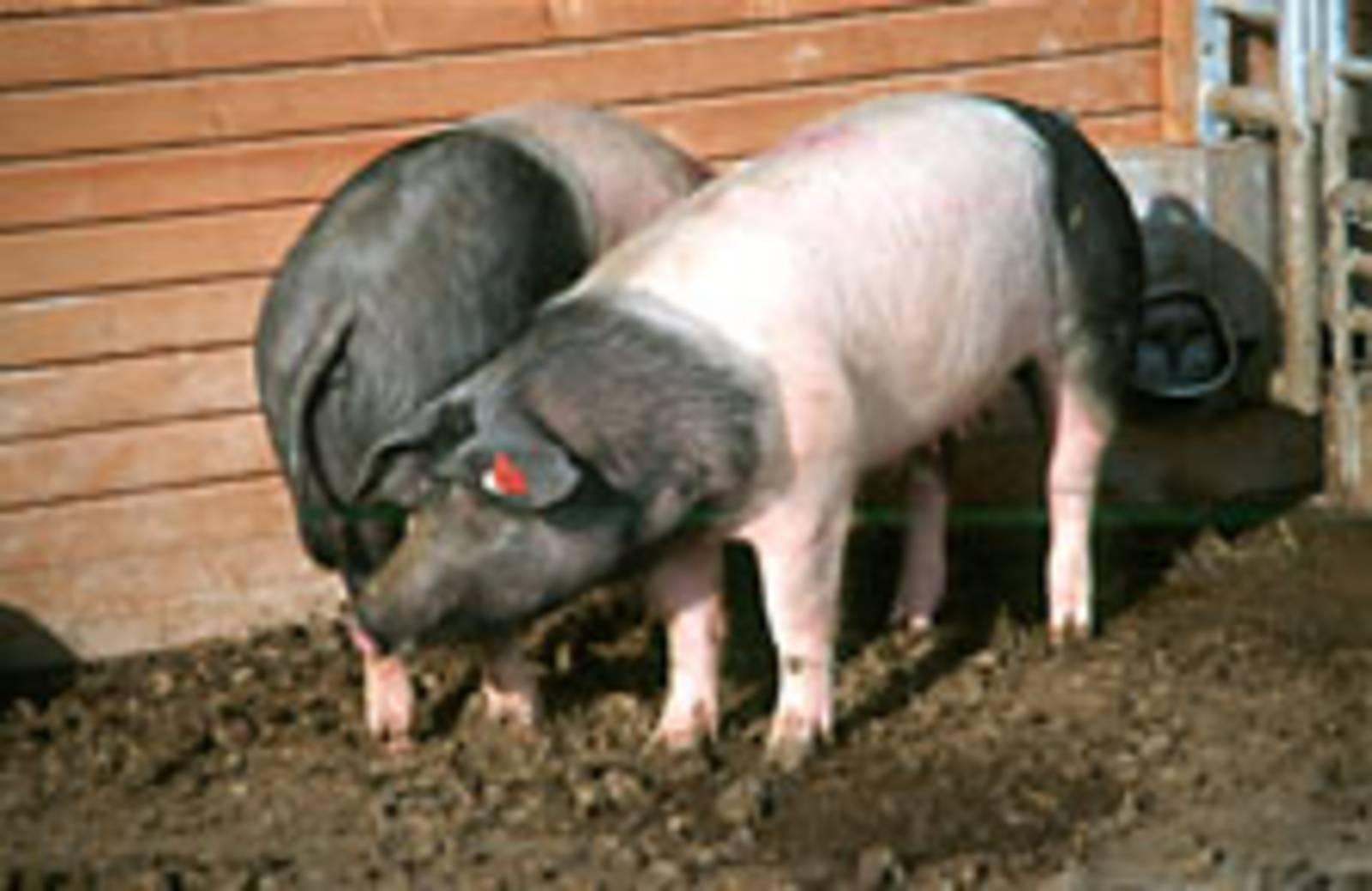 Zwei wohlgenährte Schweine