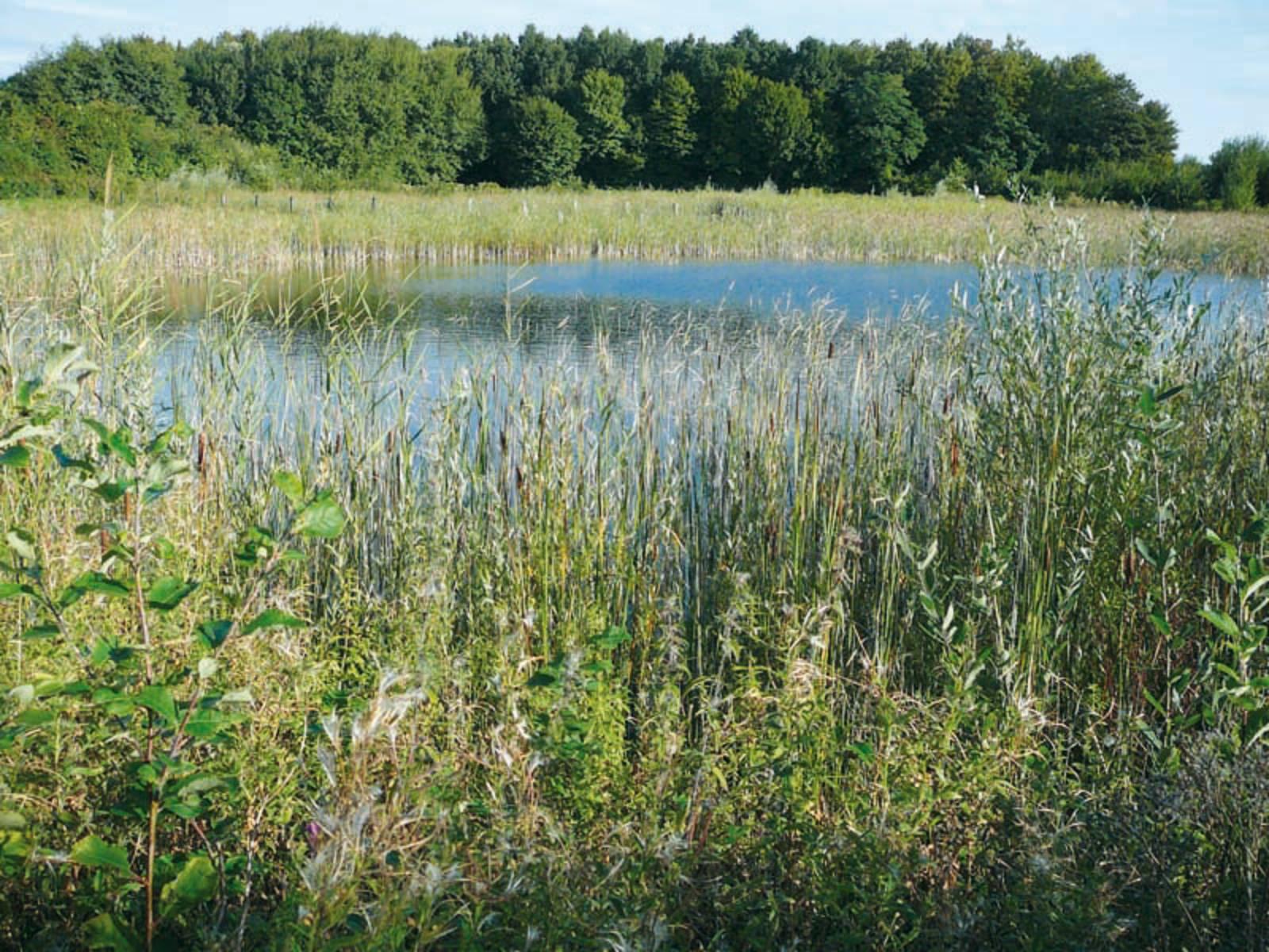 Gräser an einem Teich mit Wald im Hintergrund