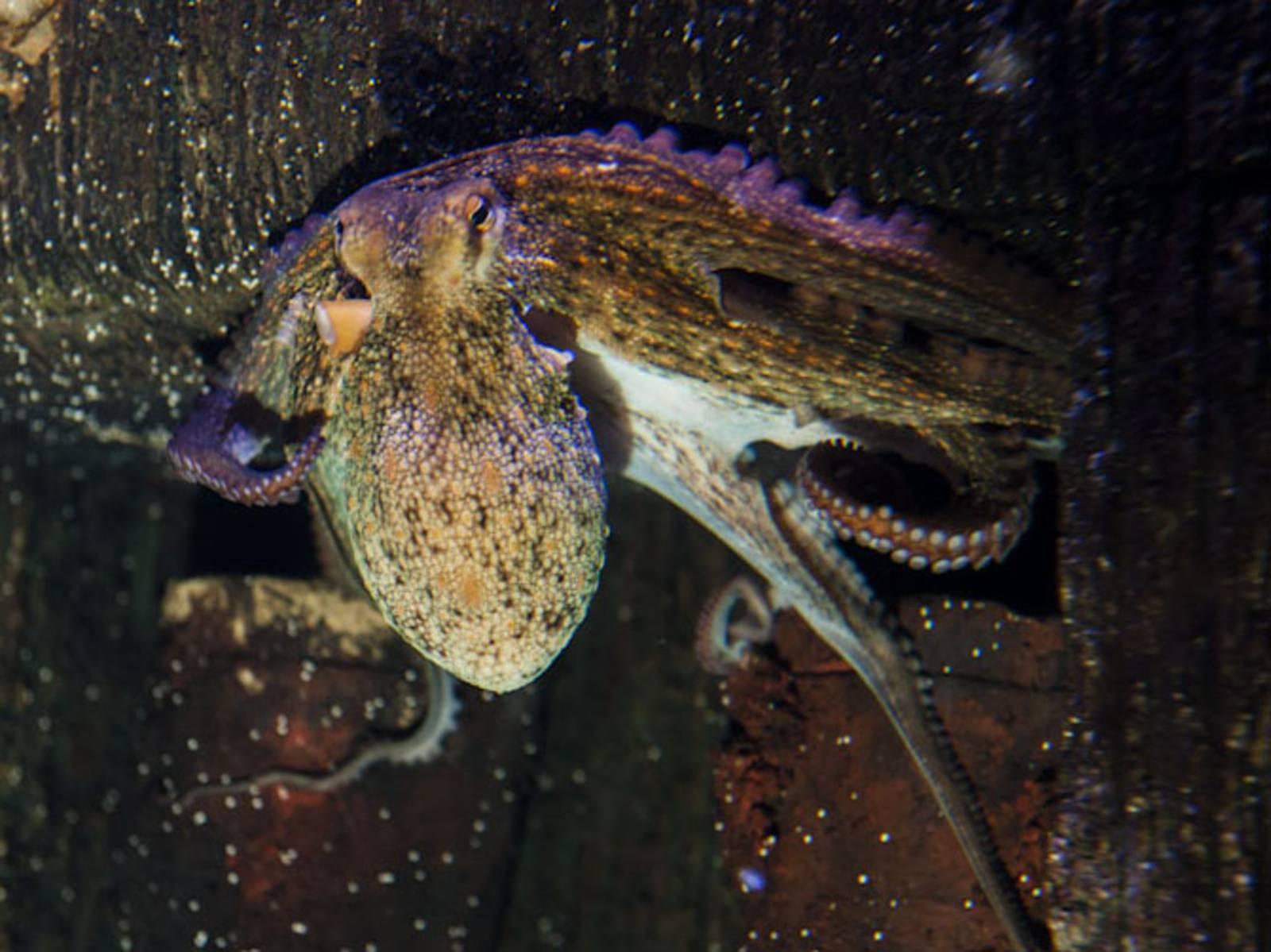Ein Octopus an einer Wand.