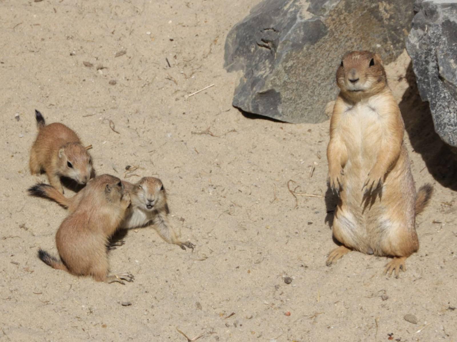 Junge Prärierhunde beim Spielen - ein Muttertier schaut zu.