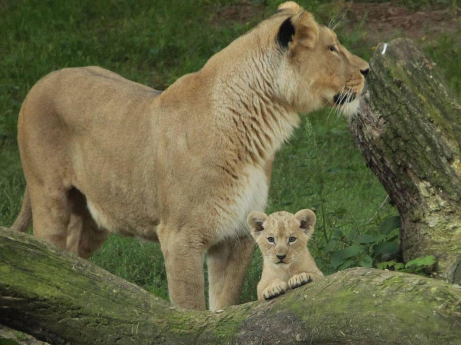 Löwenmutter mit Jungtier.