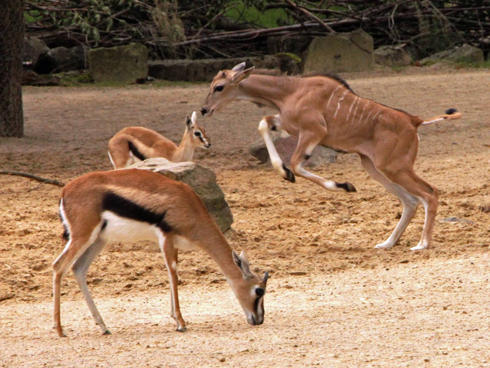 Kleine Elenantilope im Sprung.