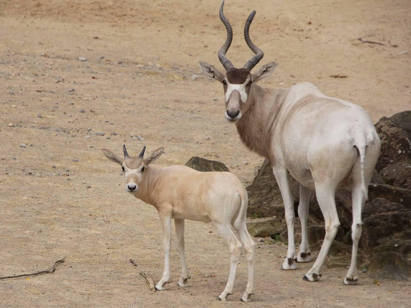 Addax-Antilope mit Mutter.