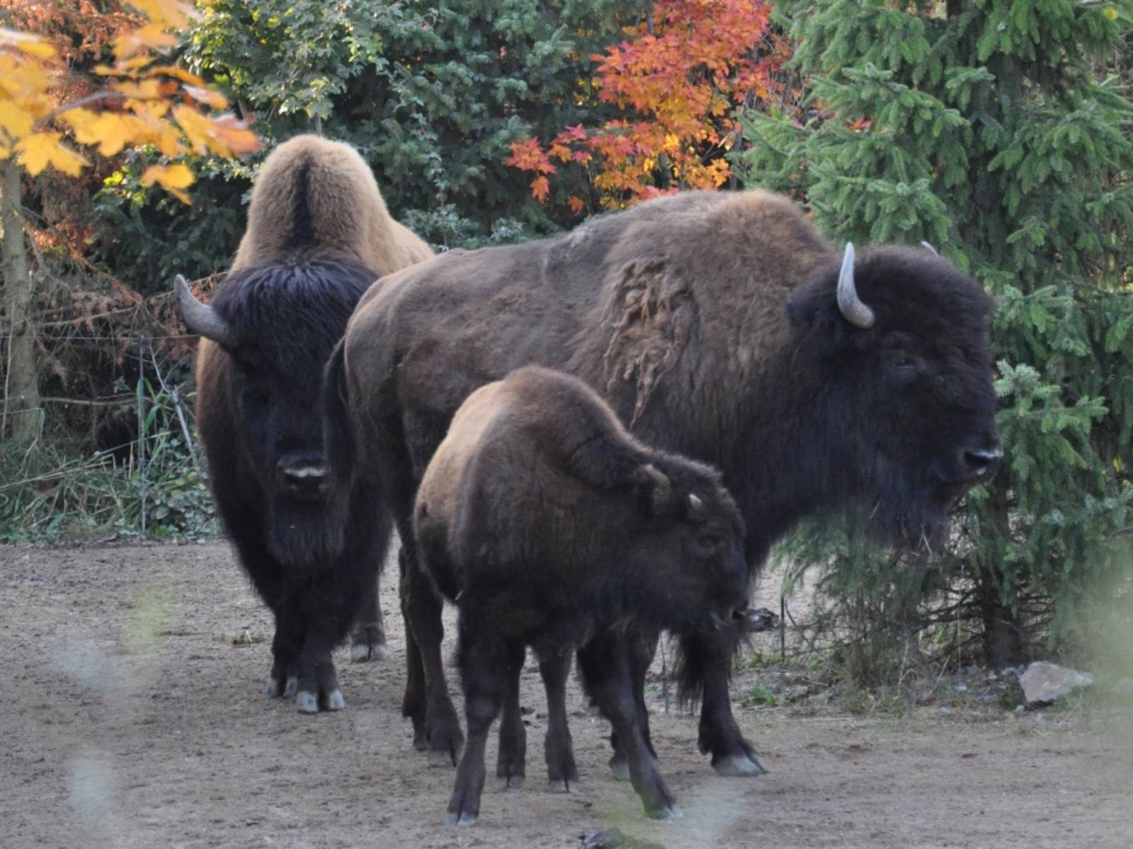 Drei Bisons im Herbstlaub.