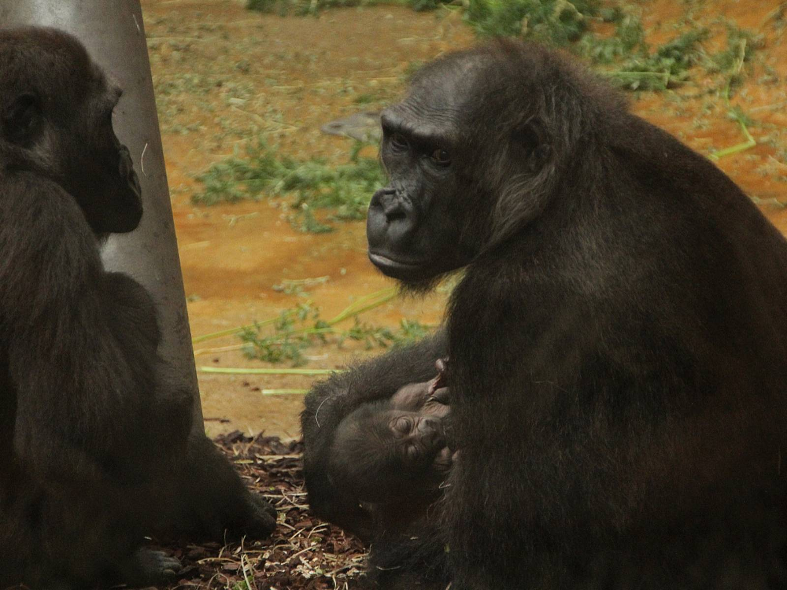 Gorillamutter mit ihrem Kleinen.