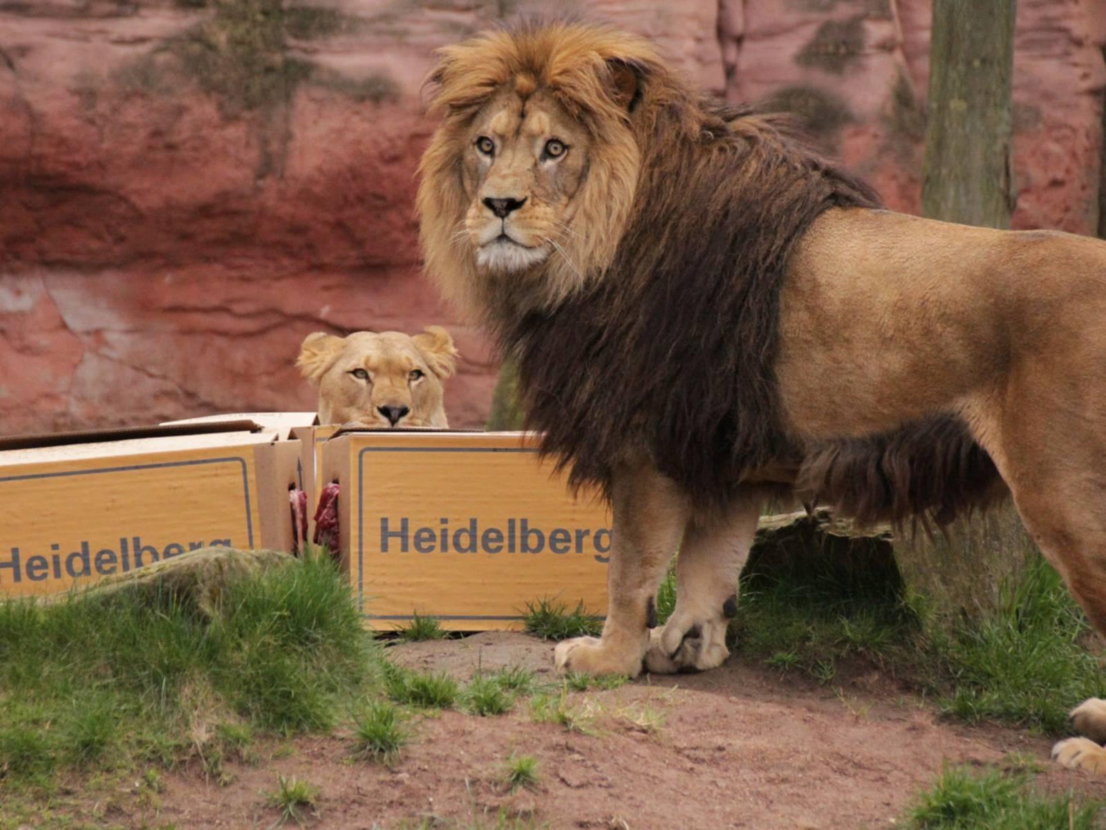 Ein Löwe und eine Löwin mit Pappkartons, auf denen Heidelberg steht.