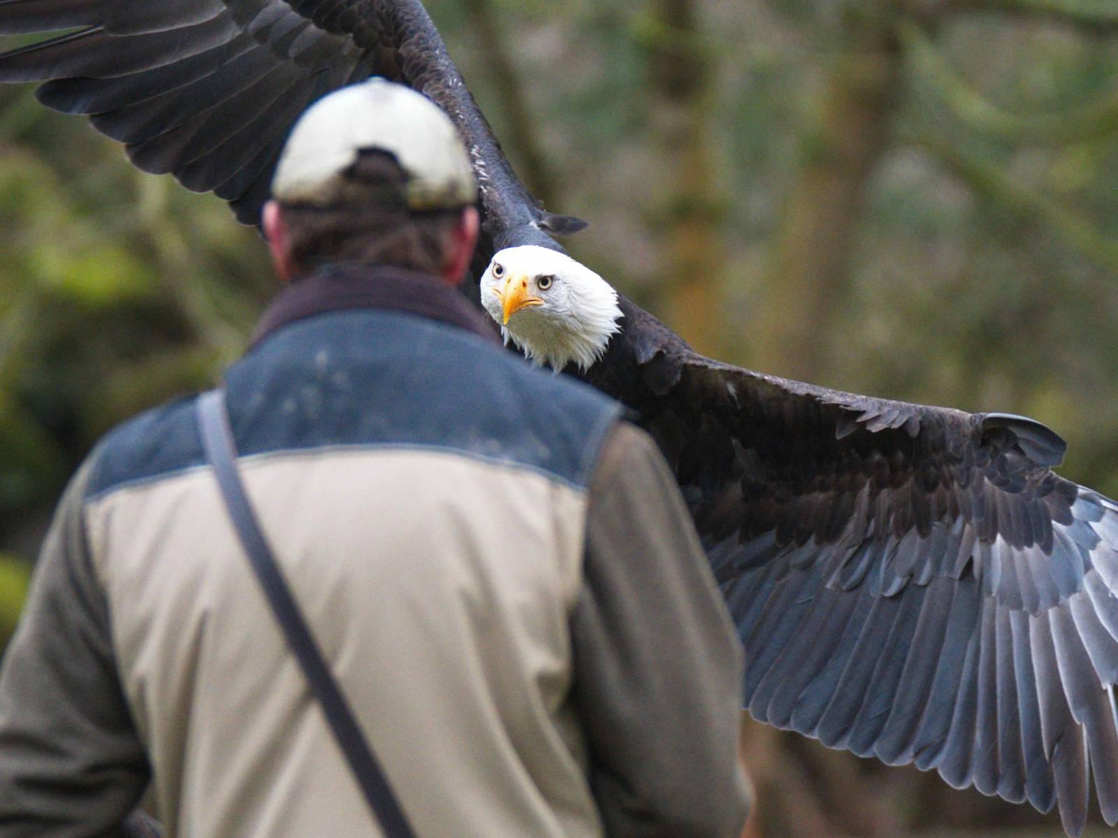 Ein Adler fliegt auf eine Person zu.