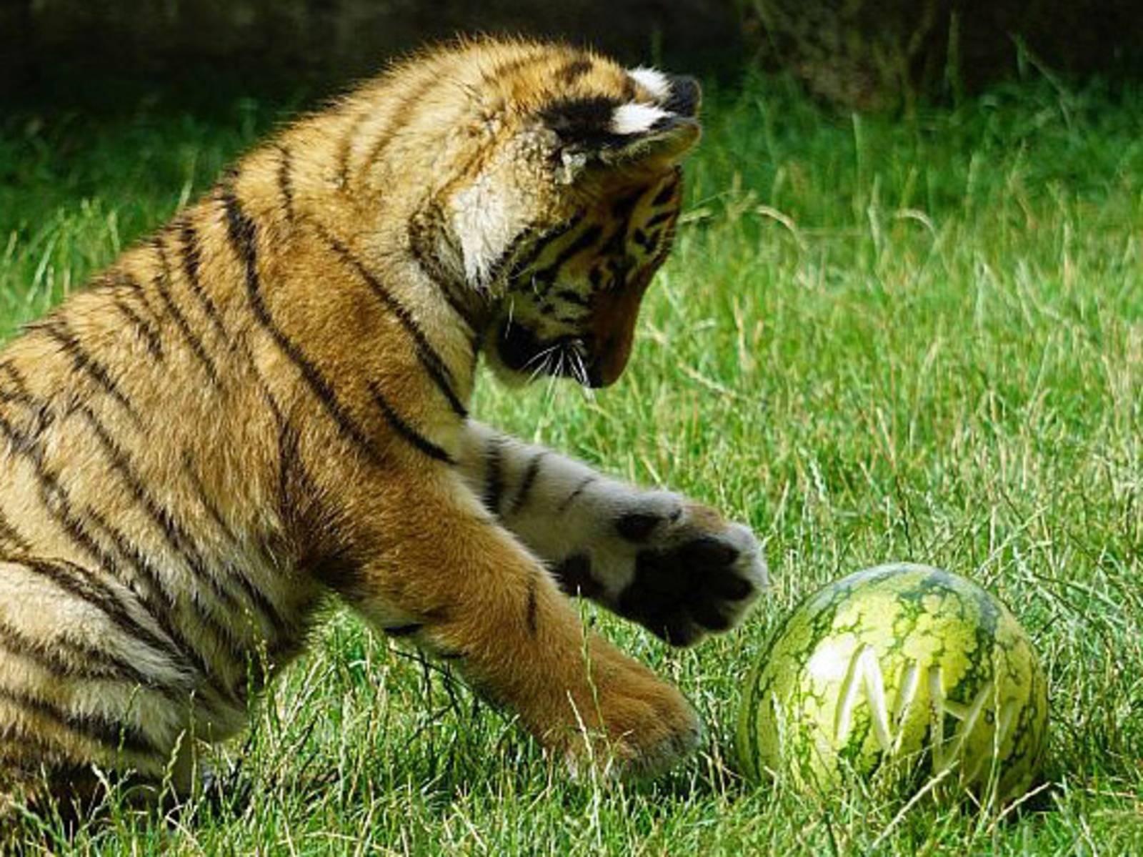 Kleiner Tiger mit einer Wassermelone