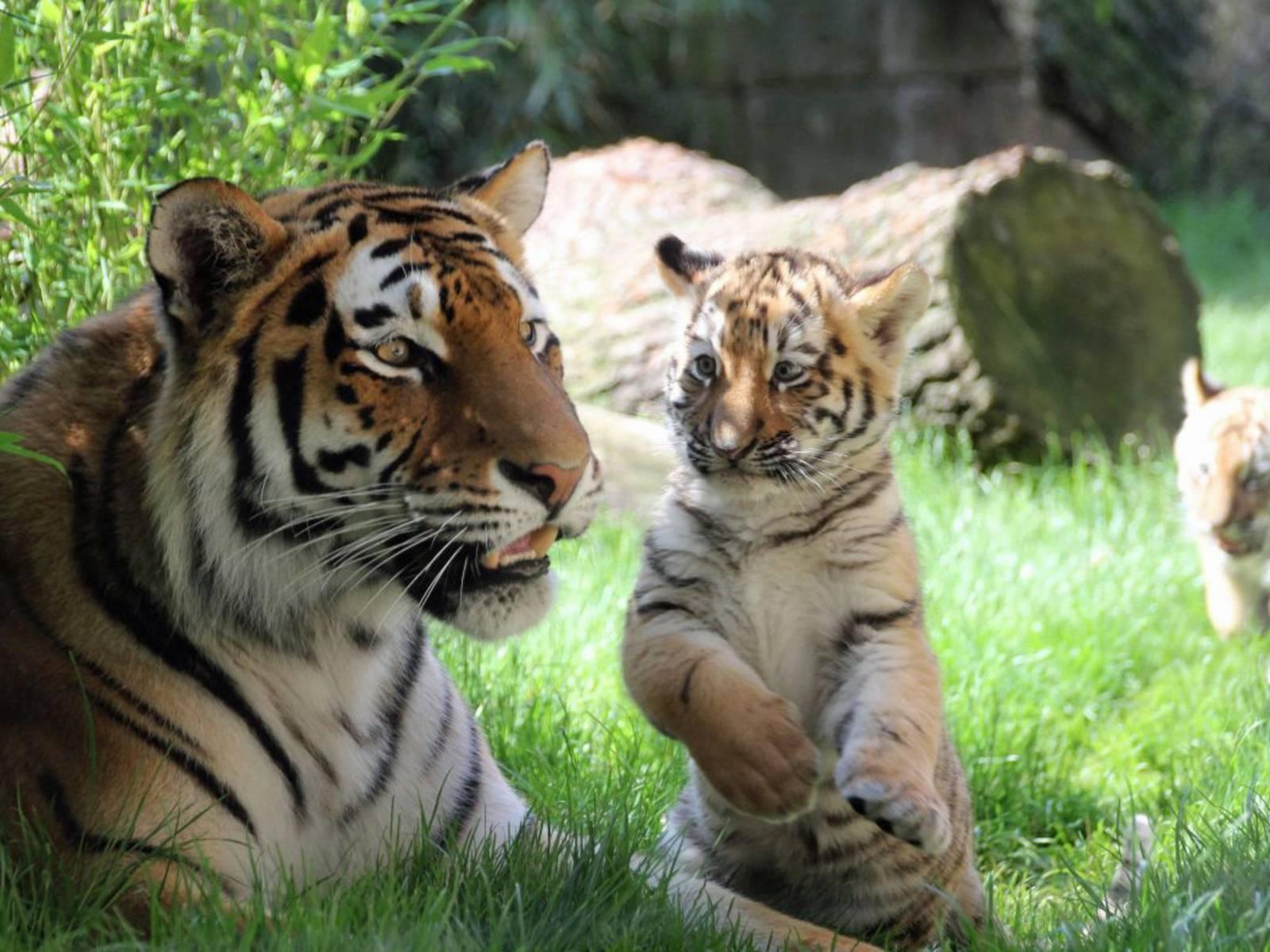 Großer Tiger mit einem kleinen Tiger