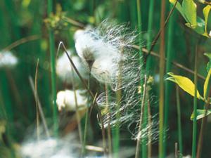 Gras mit weißen, an Wolle erinnernden, Blütenstand