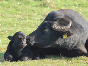 Wasserbüffelkuh mit Jungem auf einer Wiese liegend