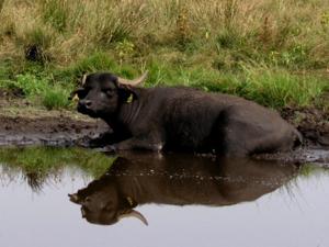 Wasserbüffel am Rand einer Tränke liegend