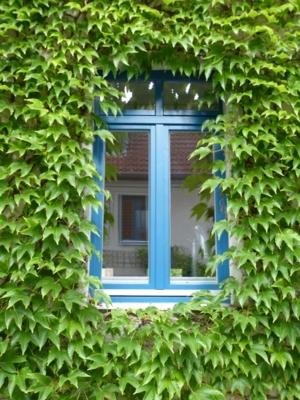 Fenster mit Wildem Wein