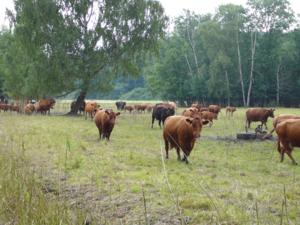 Eine Rinderherde auf einer Weide