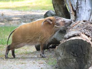 Ein Pinselohrschwein schnüffelt an einem Baumstamm.