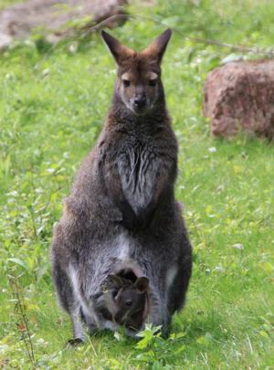Ein kleines Känguru mit seinem Jungtier im Beutel.