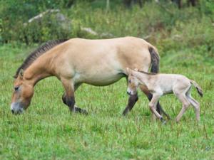Ein Przewalski-Fohlen und seine Mutter.