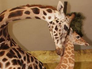 Giraffenmutter mit Nachwuchs.