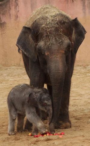 Elefantenkuh mit Jungtier.