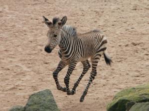 Ein kleines Zebra im Sprung.