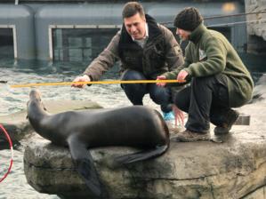 Zwei Menschen messen Robbe.