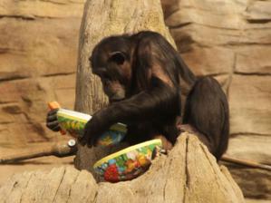 Schimpansendame mit Osterei.