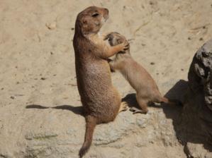 Junger Präriehund mit Mutter.