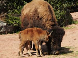 Ein junges Waldbison mit seiner Mutter.