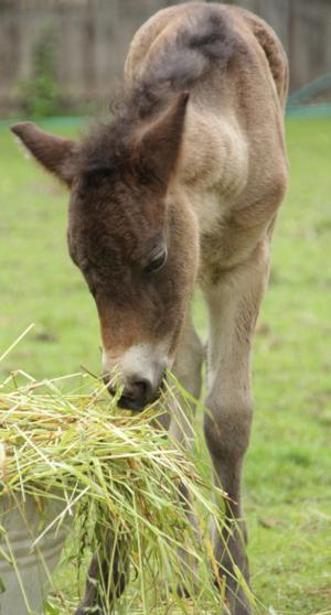 Ein junges Fohlen.