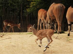 Kleine Antilope vor ihrer Familie.
